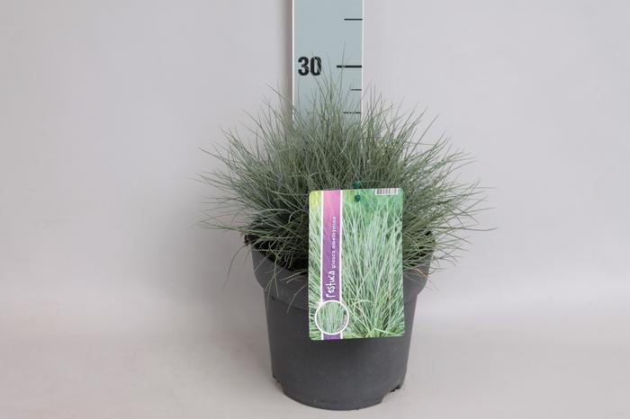<h4>vaste planten 19 cm  Festuca</h4>
