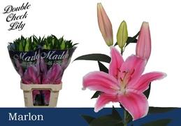 <h4>Lilium oriental Marlon</h4>