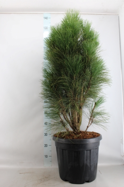 <h4>Pinus nigra</h4>