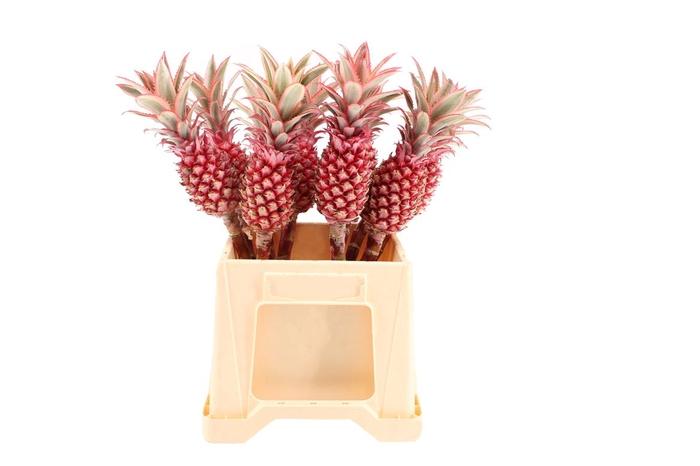 <h4>Ananas Large</h4>