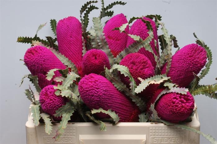 <h4>Banksia Prionotis Cerise</h4>
