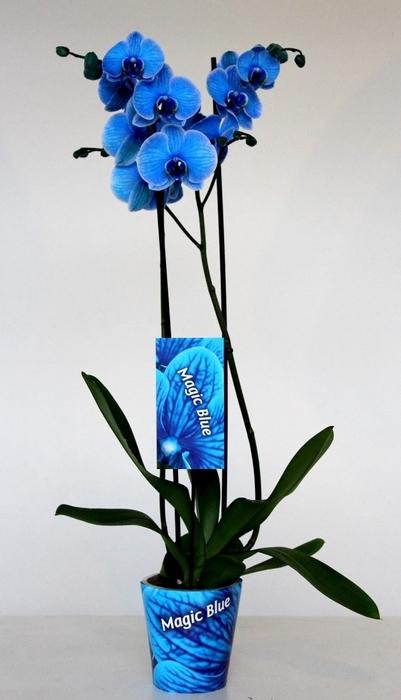 <h4>Phalaenopsis   ...</h4>