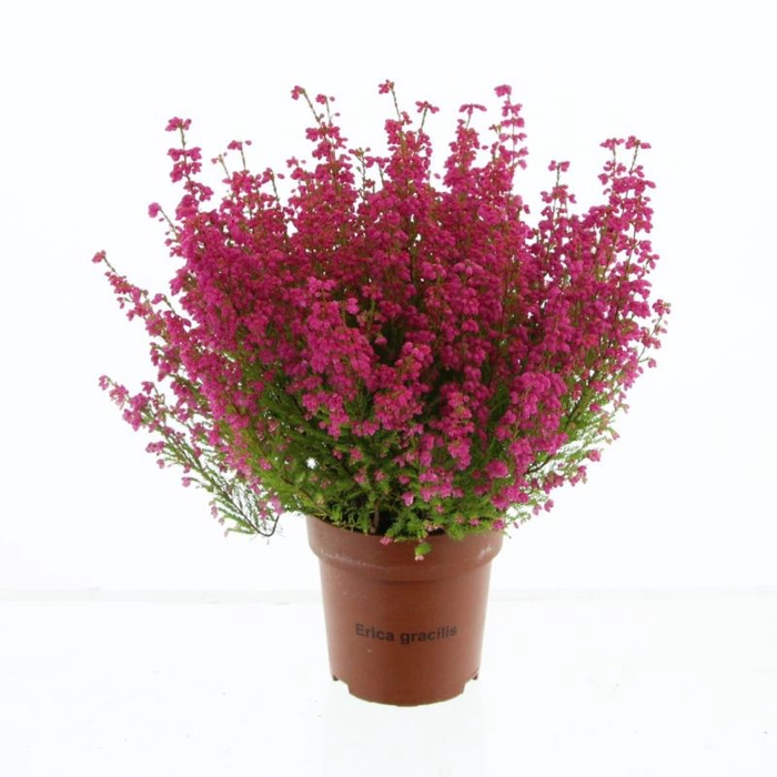 <h4>Erica gracilis red</h4>