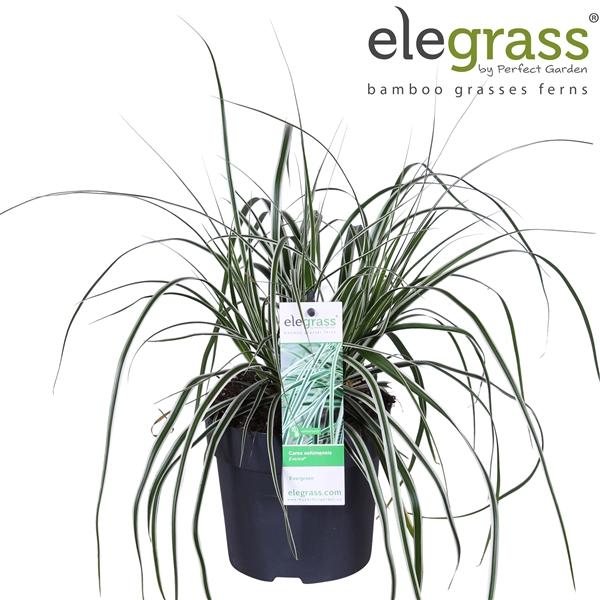 <h4>Carex oshimensis everest - Elegrass</h4>