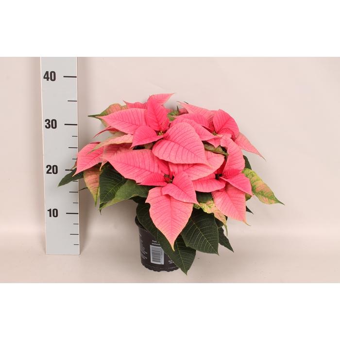 <h4>Poinsettia 13 cm Christmas Feelings® Pink</h4>