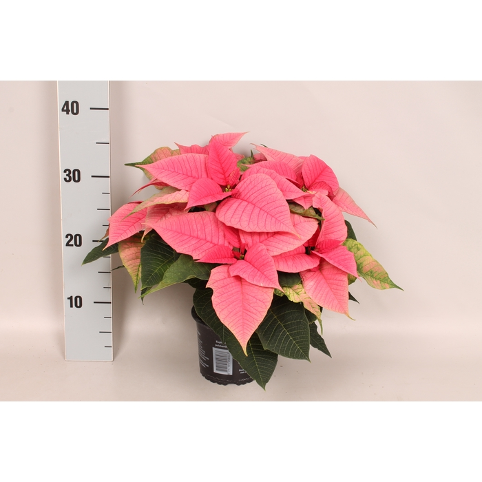 <h4>Poinsettia 13 cm Mars Pink</h4>