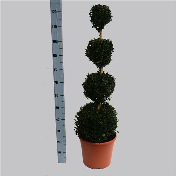 <h4>Buxus quatrobol 100 cm 32/TC12</h4>
