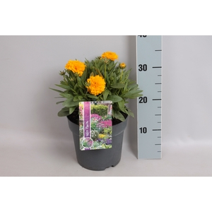 vaste planten 19 cm  Coreopsis grandiflora Early Sunrise