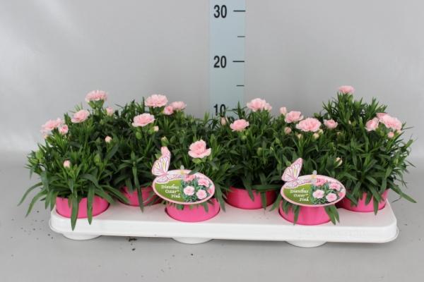 <h4>Dianthus caryophyllus</h4>
