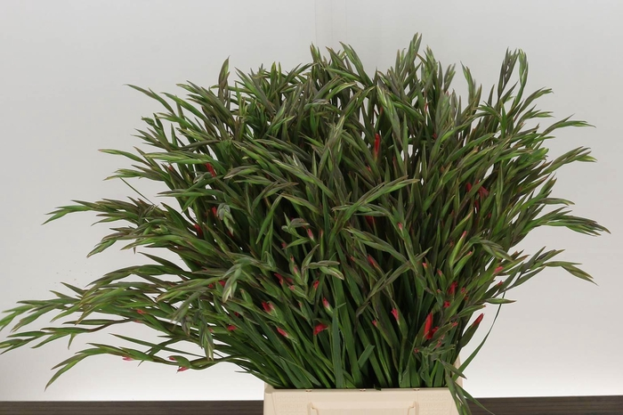 <h4>Gladiolus klein T Charm</h4>