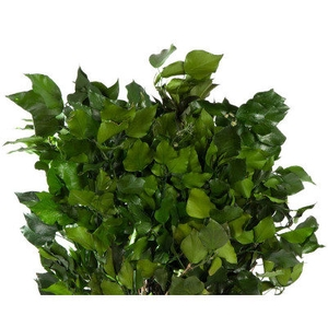 Hedera Green HED/4103