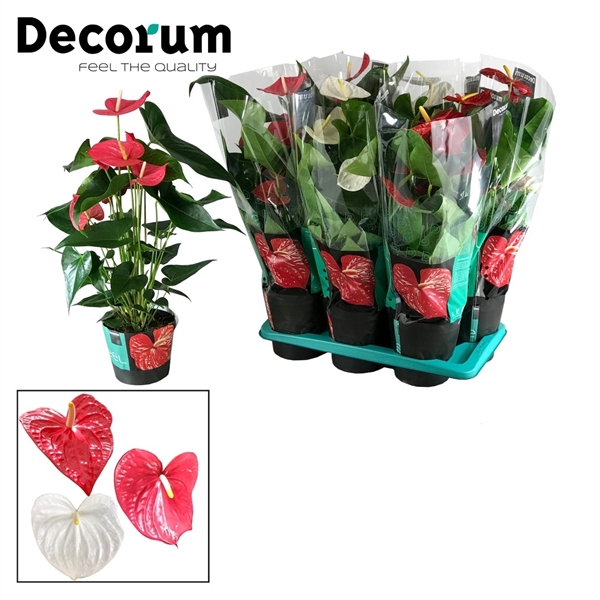 <h4>Anthurium Gemengd pot 17  Rood/Wit/Roze</h4>