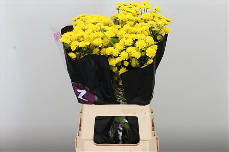 <h4>Chr T Stallion Yellow</h4>