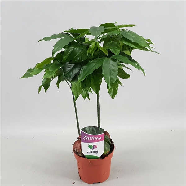<h4>Castanospermum aus. Castano Magnifico</h4>