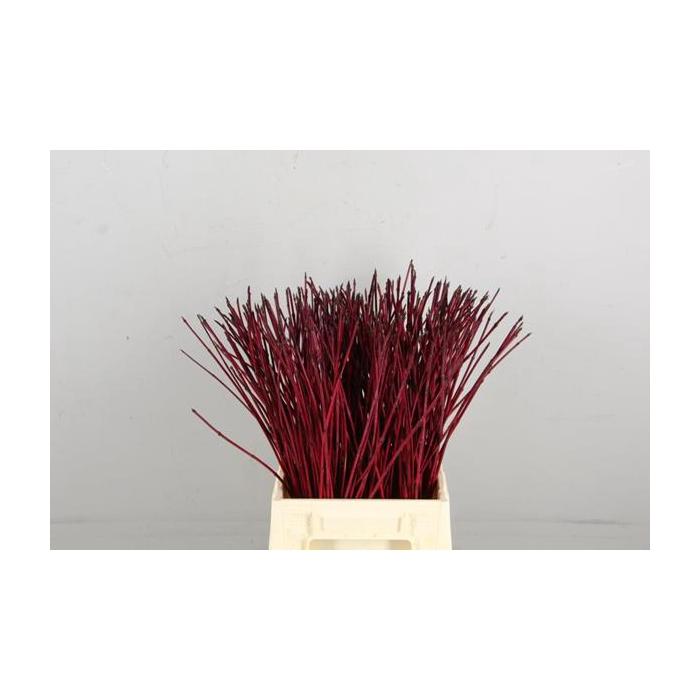 <h4>Cornus Alba Sibirica Rood</h4>