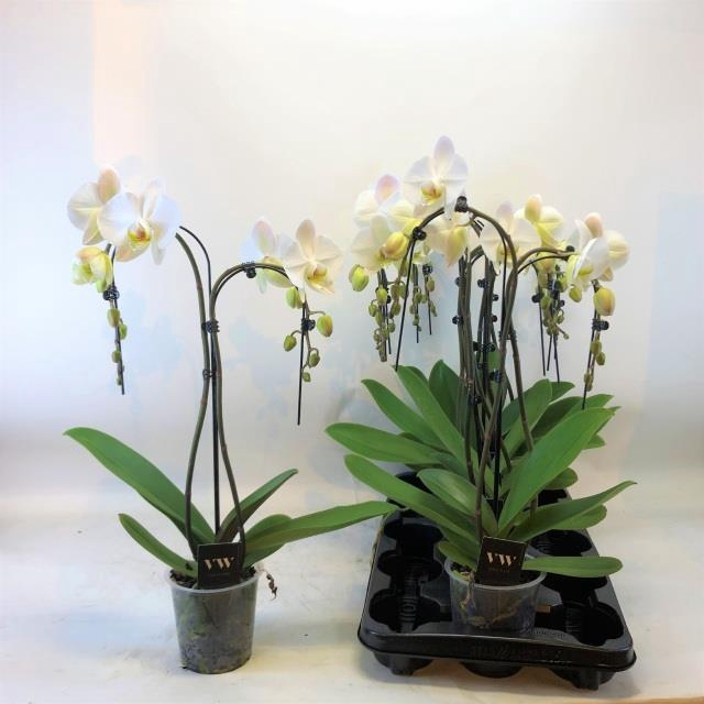 <h4>Phalaenopsis Anthura Leeds 12Ø 55cm 2 pędy 16+ kwiatów</h4>