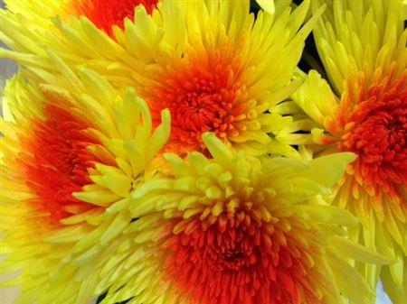 <h4>Chr G Ana Yellow-red</h4>