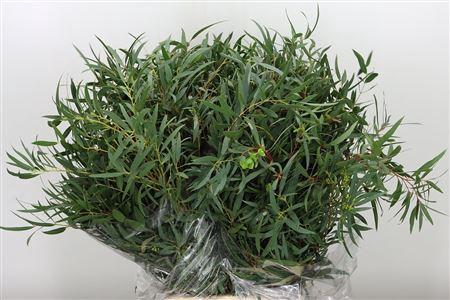 <h4>Dec Parvifolia Rough</h4>