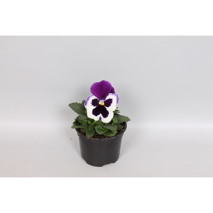 <h4>Viola wittrockiana F1 White with Purple WIng</h4>