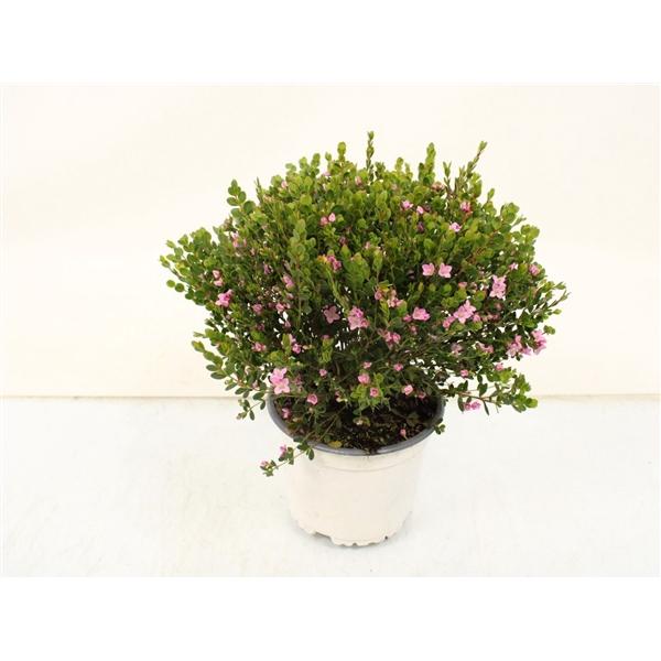 <h4>Boronia crenulata</h4>