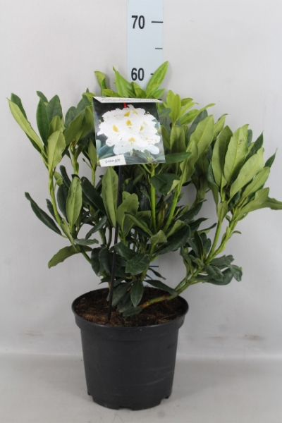 <h4>Rhododendron CA 'Madamme Masson'</h4>