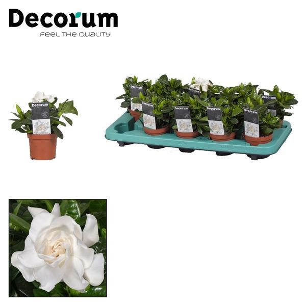 <h4>Gardenia Jasminoides 9cm + sticker</h4>