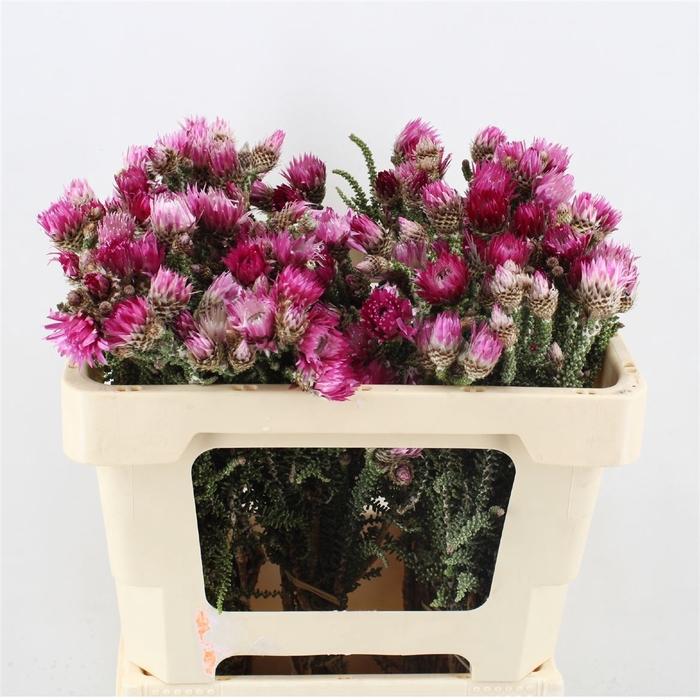 <h4>Phaenocoma Natural Pink</h4>