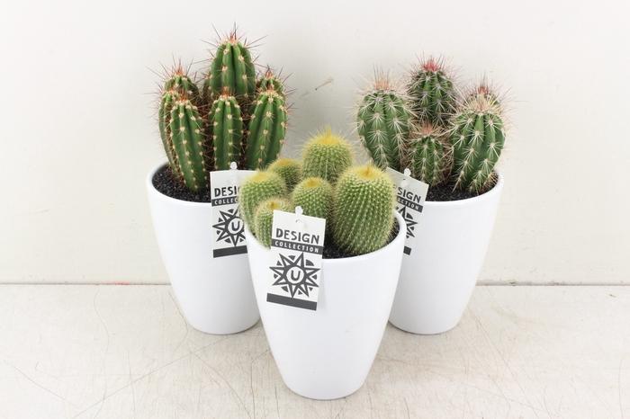 <h4>arr. UB Cactus - Ker. pot wit chic</h4>