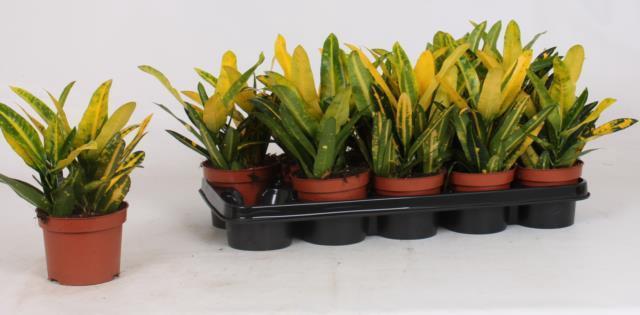 <h4>Codiaeum variegatum kleinbladig 'Sunny Star' 12Ø 30cm</h4>