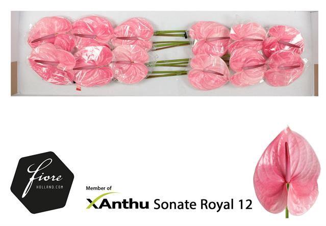 <h4>Anth Sonate Royal</h4>