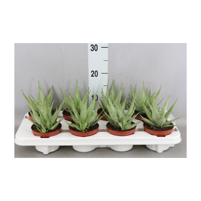 <h4>Aloe aristata 'Snow Flake'</h4>