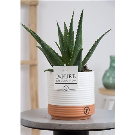<h4>Aloe Arborescens Keramiek Milou</h4>