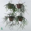 arr. Kokoplant - Rhipsalis mix 15cm
