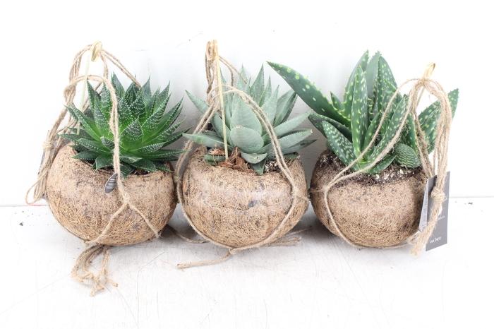 <h4>arr. Kokoplant - KD -  Aloe mix 15cm</h4>