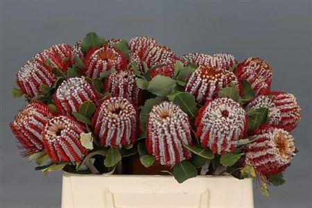 <h4>Banksia Coccinea</h4>