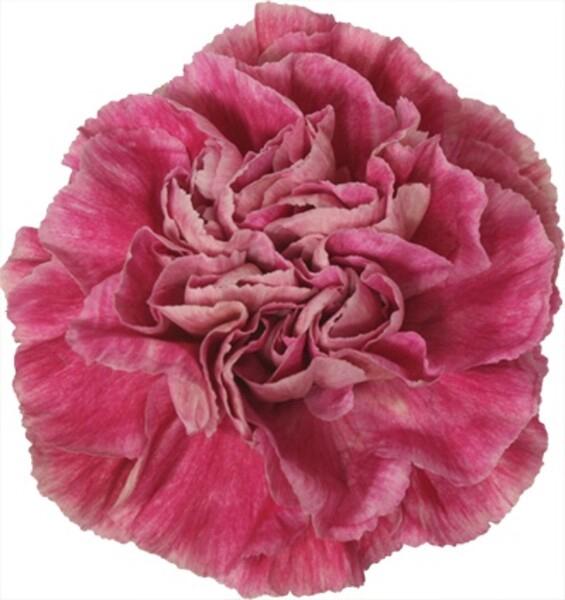 <h4>Dianthus st. Antigua</h4>