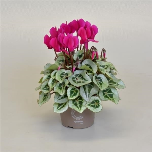 <h4>Cyclamen SS Picasso Paars</h4>