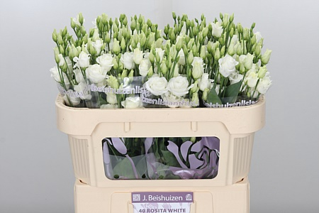 <h4>Eust G Rosita White</h4>