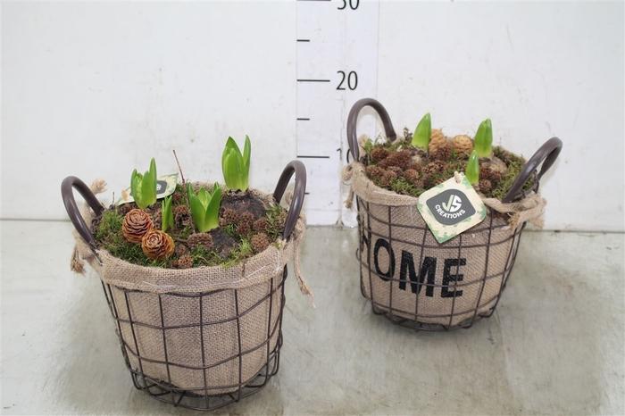 <h4>Hyacinth Wit 133 Zink Met Jute Mand</h4>