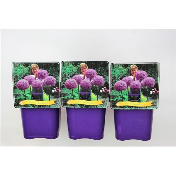 <h4>Allium 'Globemaster' C5</h4>