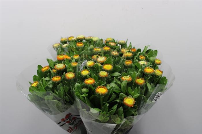 <h4>Calendula Orange</h4>