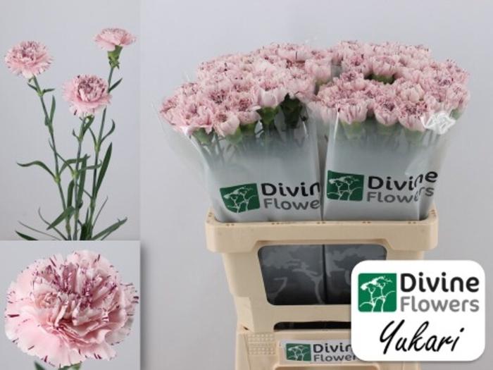 <h4>Dianthus st. Yukari</h4>