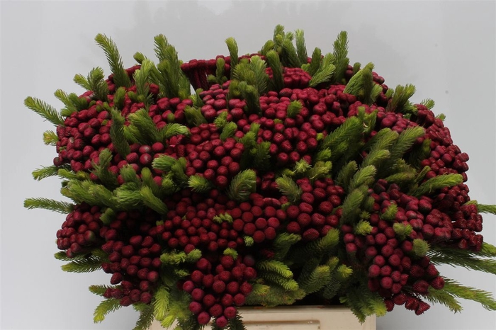 <h4>Kaaps Albiflora M Burgundy</h4>