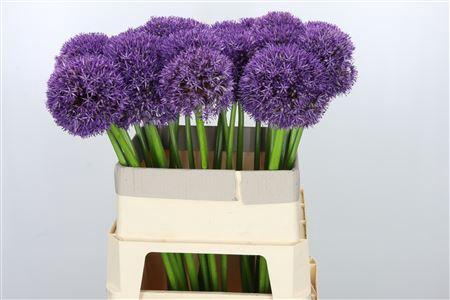 <h4>Allium Pinball Wizard</h4>