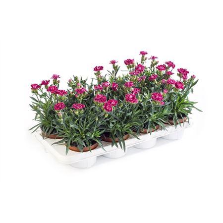 <h4>Dianthus Caryophyllus 'diwali'</h4>