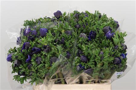 <h4>Anemone Blue</h4>