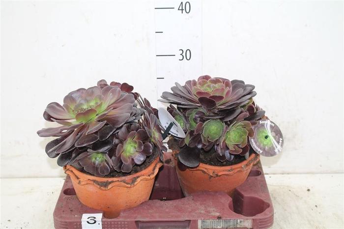 <h4>Aeonium Ab Velours In Stenen Pot</h4>