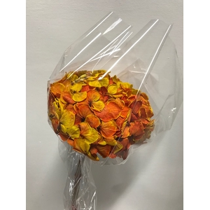 Hydrangea / Hortensia d15cm geel/rood