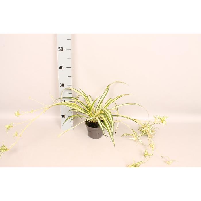 <h4>Overig 12 cm Chloropytum Green Coour outerline</h4>