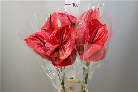 <h4>Anthurium A Enjoy</h4>
